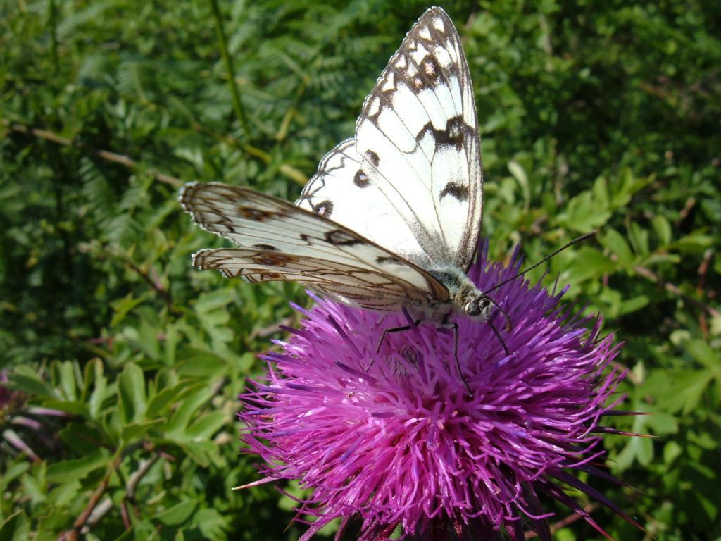 Foto farfalle fotografie di farfalle for Sfondi con farfalle