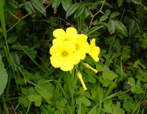 Foto di fiori fotografie di fiori della camapnia - Immagini di quadrifoglio a quattro foglie ...