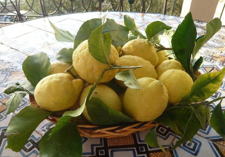 Limoni Disegno: FOTO Di LIMONI E Programma Delle Agropasseggiate Di Massa